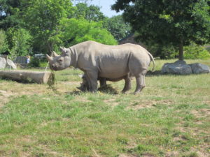 An endangered species: the white rhino